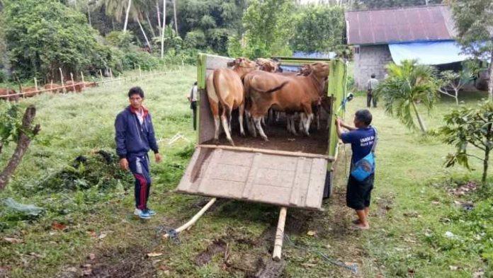 sapi, gunung agung